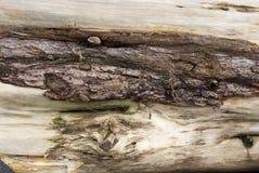 Vieux tronc d'arbre superficiel par les agents, bois mort Photographie stock
