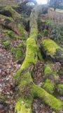 Vieux troncs d'arbre moussus Photographie stock libre de droits