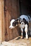 Vieux veau de deux semaines Photo libre de droits