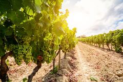 Vieux vignobles avec des raisins de vin rouge dans la région de vin de l'Alentejo près d'Evora, Portugal photos stock