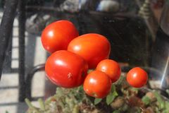 VieView de meu terraço orgânico com os tomates vermelhos e verdes foto de stock