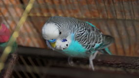 View from above on a budgie sitting on a pole Stock Photo