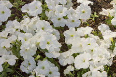 View from above on a carpet of white petunias summer morning. Herbaceous ornamental plant of the family Solanaceae with large flowers of different colors stock photos