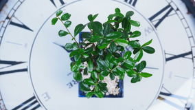 View from above, close-up. A green bonsai tree rotates on the dial of a large clock. An idea for a theme about time and