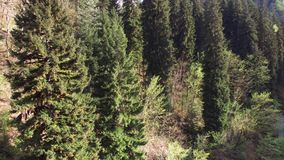 View from above on coniferous trees that are evergreen, wind blows branches. Top view of the tops of conifers, nature in autumn or summer, the wind blows the stock video