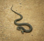 View from above at grass snake Royalty Free Stock Image
