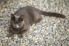 View from above of gray grown adult big short-haired sleepy lazy cat with green eyes laying outdoors on small pebbles resting on b. Lurred sunny copy space royalty free stock image