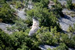 A view from above of a griffon vulture in Baronnies, flying freely. In the sky. With cliffs, mountain and trees in the background in Drome Provencale, France Royalty Free Stock Image