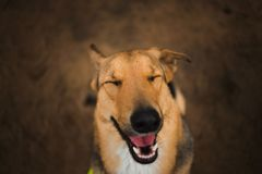 View from above at happy mongrel dog with sitting with your eyes closed. Portrait of charming happy mixed breed red hair dog sitting with your eyes closed royalty free stock image