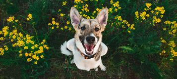 View from above at happy mongrel dog with standing and looking at camera, green grass and yellow flowers background. Portrait of charming happy mixed breed white stock photos