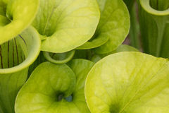 View from Above. The hoods of the pitcher plant are often the most colorful part of the plant Stock Photos
