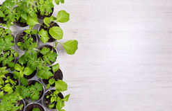 View from above on plastic cups with vegetable seedlings on ligh Royalty Free Stock Photo
