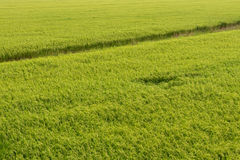 View from above rice fields. Royalty Free Stock Photo