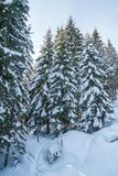 View from above and from the side to snow-covered pines or firs or spirits. stock photo