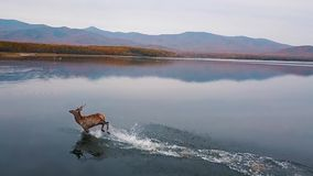 Red deer beautifully ran along smooth water with splashes in the wild in autumn. View from above. Slow motion. Red deer beautifully ran along smooth water with stock video footage