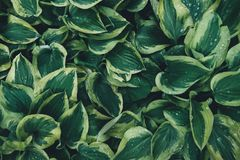Wet Green Hosta Leaves Royalty Free Stock Photography