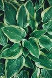 Wet Green Hosta Leaves Stock Photos