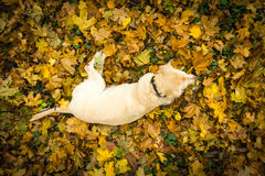 View from above at the yellow Labrador Retriever Stock Image