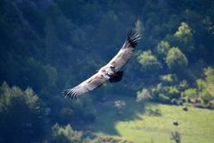 A view from aboveof a griffon vulture in Baronies, flying freely in the sky. With shadowed mountains and sunny meadows in the back. Ground. Iin Drome Provencale royalty free stock image