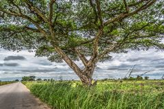View of a Acacia tortilis tree on roadside, tropical landscape stock photos