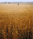 View across cornfield agricultural landscape Stock Photos