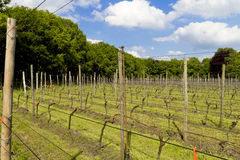 View across a Dutch vinyard surrounded by trees Stock Images