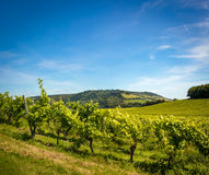View Across a Sunny Vineyard in England. With Grapes just coming out on the vine Royalty Free Stock Image
