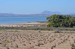 A View Across A Vineyard To A Salt lake And Mountains Royalty Free Stock Images