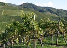 Durbach vineyards. View across Vineyards on a slope near Durbach Ortenau, Baden Germany Stock Photos