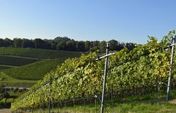 Durbach vineyards. View across Vineyards on a slope near Durbach Ortenau, Baden Germany Stock Image