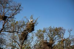View of an adult stork in its nest with bright blue sky stock photos