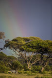 A view of Africa with a zebra and umbrella tree under the rainbow. Royalty Free Stock Photography