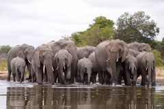African Elephant. View of  African Elephant herd in water Royalty Free Stock Image