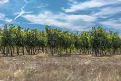 View of agricultural fields with vineyards, typically Mediterranean. In Portugal royalty free stock image