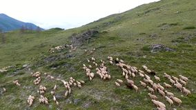A view from the air to the hill, a shepherd and a herd of sheep grazing on the slope. The Republic of Altai, Russia