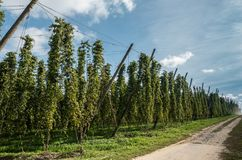 View along hops field in Proven Belgium. Proven, Flanders, Belgium - September 15, 2018: View along brownish rural road on side of large green hops field with stock image
