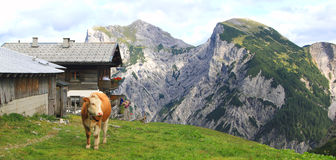 View on an alp with a cow in the foreground in the alps Royalty Free Stock Images