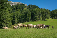 View of alpine mountain scenary with grazed cows on a summer day. Dolomites mountains, South Tyrol, Italy Royalty Free Stock Images