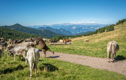 View of alpine mountain scenary with grazed cows on a summer day. Dolomites mountains, South Tyrol, Italy Royalty Free Stock Photos
