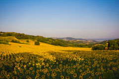 View of Ancona with sunflowers Stock Photography