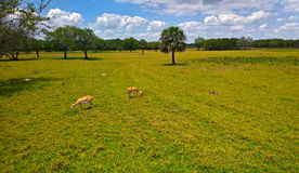 View of the animals on the steppes in the wild grazing on the grass between the trees and palm trees under blue sky Royalty Free Stock Images