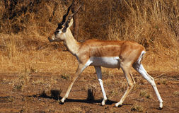 View of an antelope. An antelope in the Gir-Forest of Guajarat-India Royalty Free Stock Images