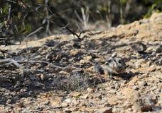 Antelope Squirrel Foraging in Desert. View of antelope squirrel foraging for seeds in the Sonoran Desert, Arizona, United States Royalty Free Stock Photo