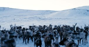 View of the Arctic Mountains. Aerial view of herd of reindeer, which ran on snow in tundra. 4k. Slow Motion stock video