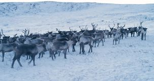 View of the Arctic Mountains. Aerial view of herd of reindeer, which ran on snow in tundra. 4k. Slow Motion. View of the Arctic Mountains. Aerial view of herd stock footage