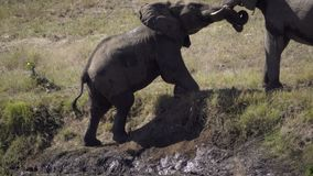 Two elephants interact on a river bank. View as two elephants interact on a river bank stock footage