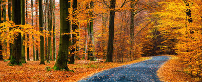 View of asphalt road in beautiful golden beech forest during autumn. Panoramic view of asphalt road in beautiful golden beech forest during autumn