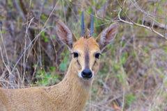 Duiker Ram. View of attentive Duiker Ram in bush Royalty Free Stock Images