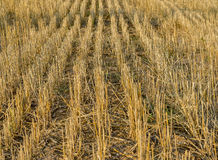 View of autumn field with hays Royalty Free Stock Image