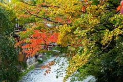 View of autumn leaves against the background of the river in Kyoto, Japan. Close-up. View of autumn leaves against the background of the river in Kyoto, Japan Royalty Free Stock Photography